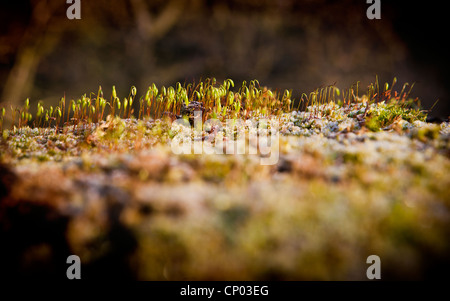 Screw moss growing on a concrete bridge parapet at Lymm Dam, Lymm, Cheshire, England, UK - Stockfoto
