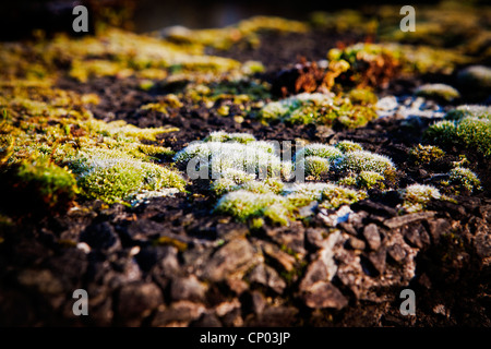 Lichen growing on a concrete bridge parapet at Lymm Dam, Lymm, Cheshire, England, UK - Stockfoto