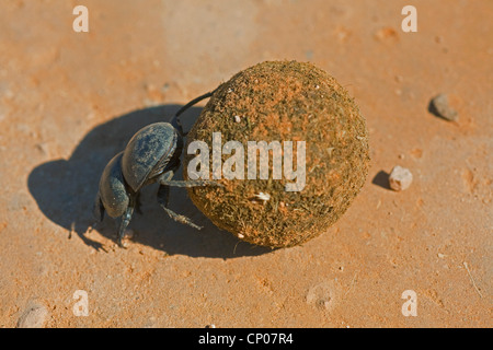 Flightless dung beetle (Circellium bacchus), rolling a dung ball, South Africa, Eastern Cape, Addo Elephant National - Stock Photo