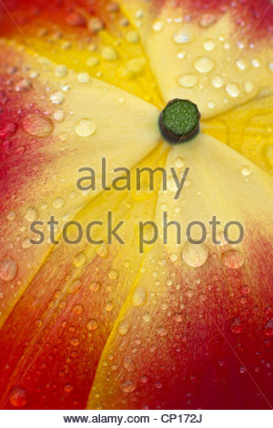 abstract close up tulip petals red orange yellow spring flower garden plant rain drops droplets - Stock Photo