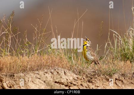 Western meadowlark (Sturnella neglecta), Badlands NP, South Dakota, USA - Stock Photo