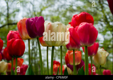 Vibrant colored Tulips with sky - Stock Photo
