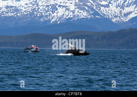 Tourists on wildlife tour watch as a Humpback Whale breaches in Lynn Canal, Inside Passage, Southeast Alaska, Summer - Stock Photo