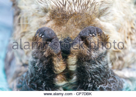 Close up of a sea otter's head and paws, Valdez Harbor, Prince William Sound, Southcentral Alaska, Summer - Stockfoto