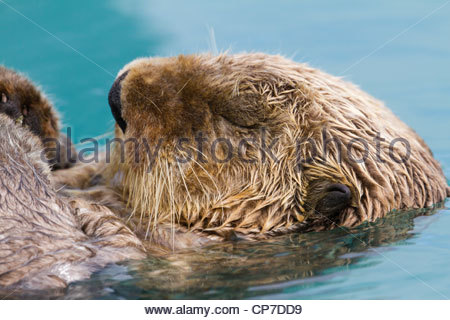 Close up of a sea otter's head while it floats in the water on its back, Valdez Harbor, Prince William Sound, Alaska - Stockfoto