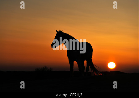 White horse in the Camargue, France - Stock Photo