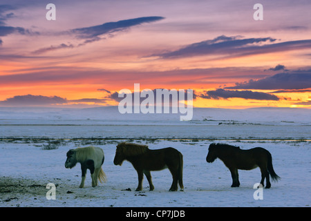 Icelandic horses on a winter sunrise - Stock Photo