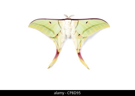 Indian Moon Moth, or Indian Luna Moth, Actias selene - Stockfoto