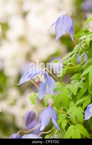 clematis alpina frances rivis agm stock photo royalty. Black Bedroom Furniture Sets. Home Design Ideas
