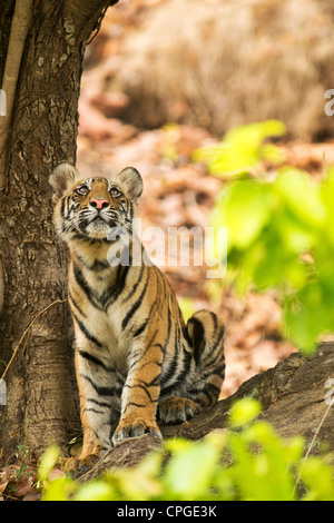 A 9-month-old Bengal Tiger Cub looks up in Bandhavgarh Tiger Reserve, India - Stock Photo