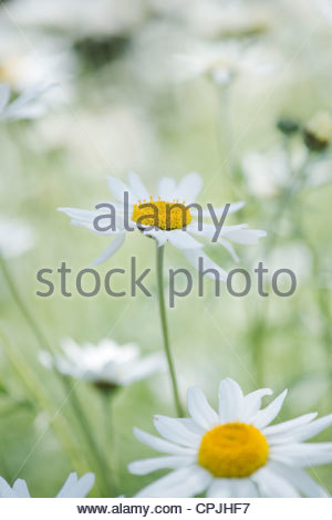 Argyranthemum. Dill daisy flowers - Stock Photo