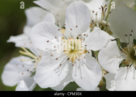 close-up shot of apple flowers on a flowering tree - Stock Photo