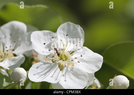 close-up shot of apple flower  with ant on a flowering tree - Stock Photo