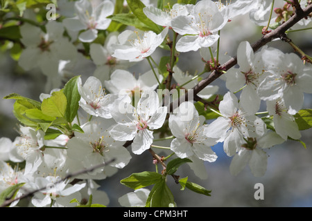 close-up shot of cherry flowers on a flowering tree - Stock Photo