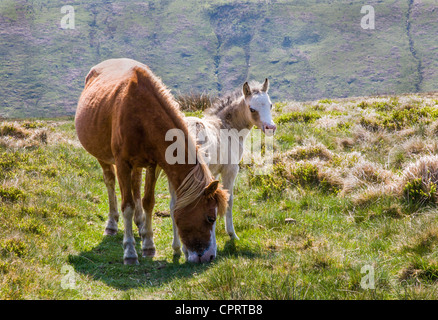 Mare and young Brecon pony foal in the Black Mountains of South Wales - Stock Photo