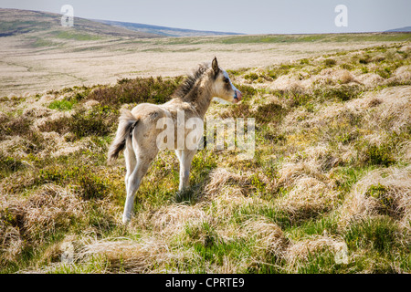 Young Brecon pony foal in the Black Mountains of South Wales - Stock Photo