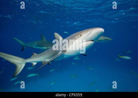Reef Sharks in mid -water - Stock Photo