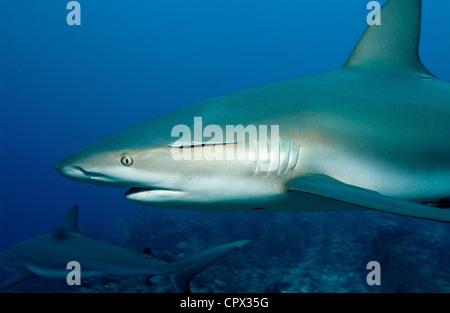 Caribbean reef sharks - Stock Photo
