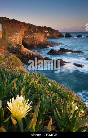 hottentot fig on the cliff at Lizard Point (the most southerly point in mainland Britain), Cornwall, England - Stock Photo