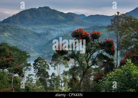 flame of the forest trees on a tea plantation near Hatton, Central Highlands, Sri Lanka - Stockfoto