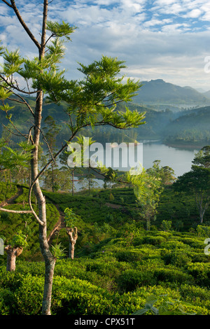 a tea plantation near Hatton, Central Highlands, Sri Lanka - Stockfoto
