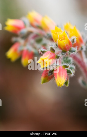 Echeveria setosa flower. Mexican firecracker plant growing in a protected environment. - Stock Photo