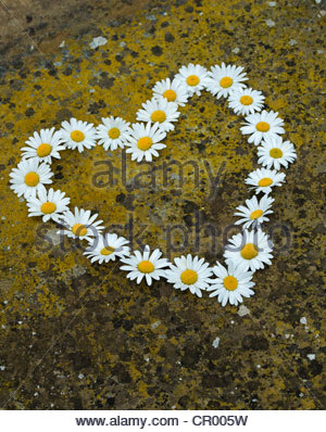 Leucanthemum vulgare. Oxeye daisy flower heart shape on lichen covered stone - Stock Photo