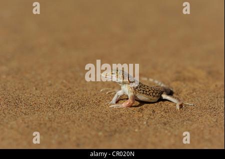 shovel snouted lizard (meroles anchietae), namib-desert, namibia - Stock Photo