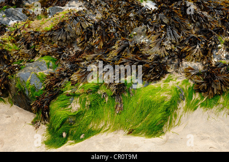 Seaweed on a rock in the harbour of Newquay, Cornwall, England, United Kingdom, Europe - Stock Photo