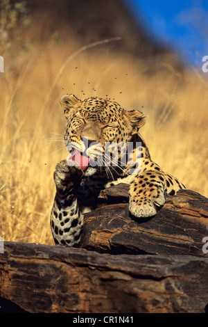 Leopard (Panthera pardus) licking its paw, Namibia, Africa - Stock Photo