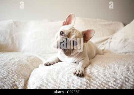 Usa, New York State, New York City, Portrait of French Bulldog lying down on sofa - Stock Photo