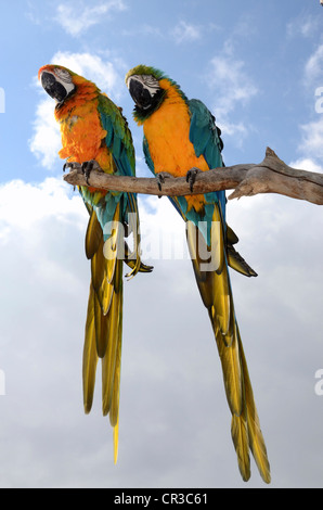 Two Blue-and-Yellow Macaws (Ara ararauna), on a branch - Stock Photo