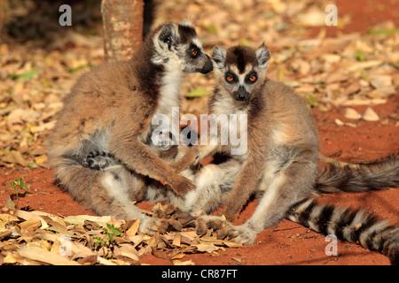 Ring Tailed Lemur Baby Nursing