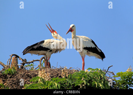 White Storks (Ciconia ciconia), pair clapping their beaks in a nest in a chestnut tree, Mannheim, Baden-Wuerttemberg - Stock Photo