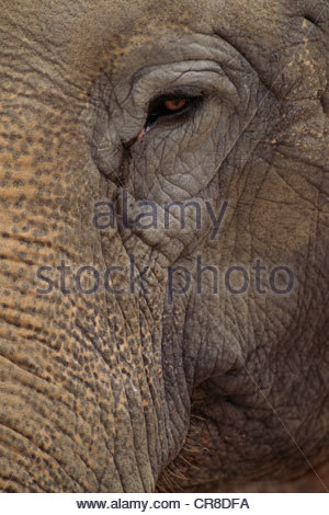 Asian elephant, native to southern parts of Asia. - Stock Photo