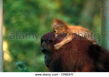 Bornean orangutan and baby, Indonesia - Stock Photo