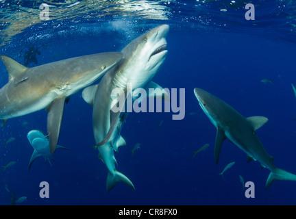 Feeding Caribbean Reef Sharks - Stock Photo