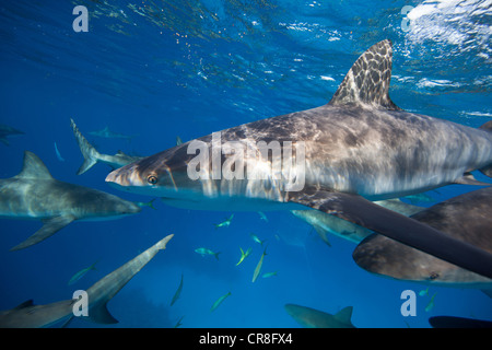 Frenzy of Caribbean Reef Sharks - Stock Photo