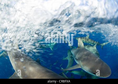 Rausch der Karibische Riffhaie - Stockfoto