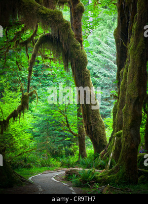 Hoh rain forest and the Hall of Mosses trail in Olympic National Park in the spring - Stock Photo