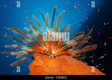 Feather Star (Dichometra flagellata) sitting on a sponge, fishing for plankton with its feather arms, surrounded - Stock Photo