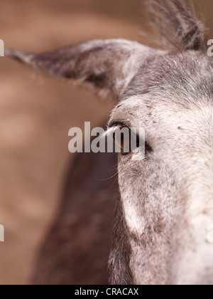 Donkey (Equus asinus asinus), close-up of its eye, Lake Neusiedl, Burgenland, Austria, Europe - Stock Photo