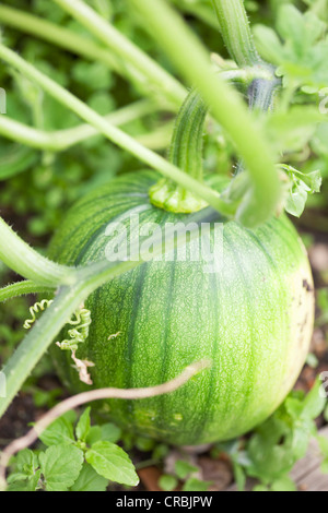 Close up of pumpkin growing on vine - Stock Photo