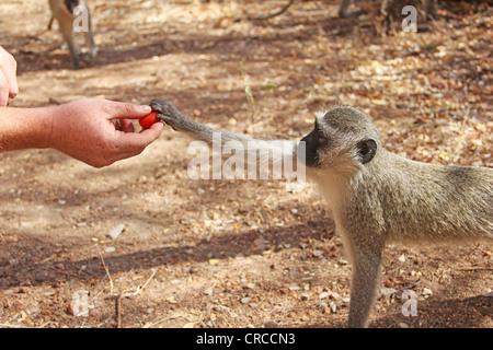 Human feeding monkey - Stock Photo
