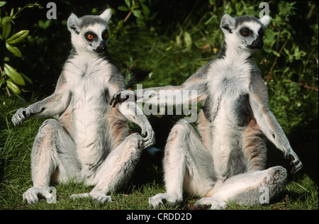 ring-tailed lemur (Lemur catta), sunbathing - Stockfoto