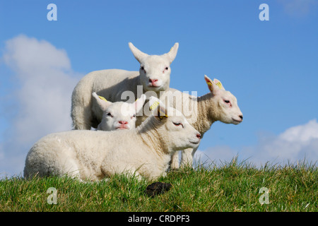 domestic sheep (Ovis ammon f. aries), four lambs, Netherlands, Texel - Stock Photo