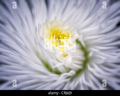 Close up of English Daisy. Oregon - Stock Photo