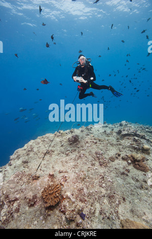 Scuba diver using a reef hook to watch sharks and other fish - Stock Photo