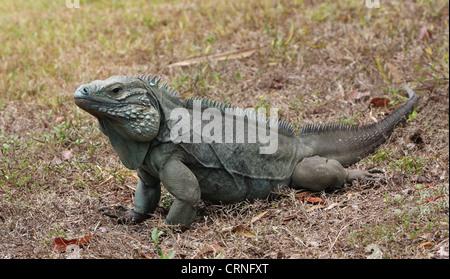 Cayman Island Rock Iguana