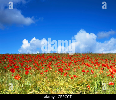 Wild Poppies growing in a field in rural Hampshire during mid summer. - Stock Photo